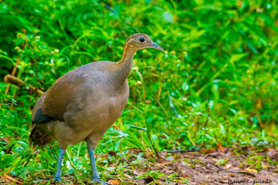 Macuco Sudamericano